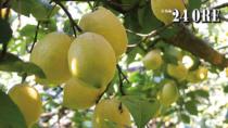 Non solo limoncello, il Limone di Sorrento IGP imprevedibile anti-aging