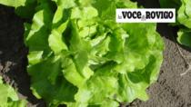 Insalata di Lusia IGP: unica lattuga europea con marchio di qualità