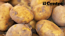 Patata del Fucino IGP, raccolti 450mila quintali: meglio di un anno fa