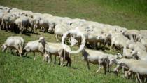 VIDEO - Transhumanus: dalla transumanza al Pecorino di Picinisco DOP